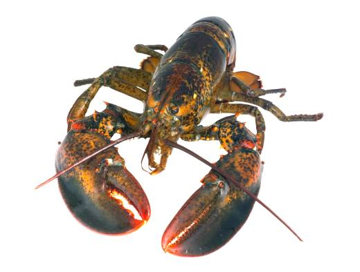American Lobster - Swedish Agency for Marine and Water